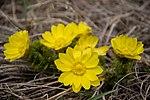 Горицвіт весняний у Дворічанському НПП.jpg