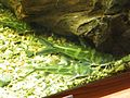 Косатка-скрипун в аквариуме ф4.JPG