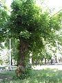 Парк Шевченка. Чудо-дерево.JPG
