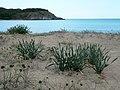 Пясъчни лилии на плажа Силистар Pancratium maritimum.jpg