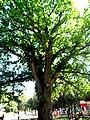 Столітній дуб у м.Сімферополь.jpeg