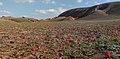 Тюльпаны геснеровские на восточном склоне горы Большое Богдо.jpg