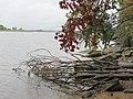 Упавшее дерево на берегу. Змиево - panoramio.jpg