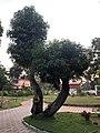 മരങ്ങളിലെ പുനർ യൗവന പ്രക്രിയ 601 .jpg