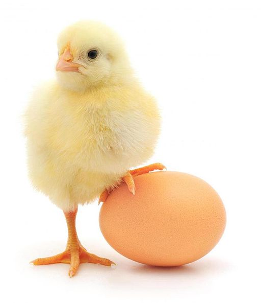chick with one foot on an egg