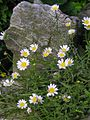 ノースポール 'North Pole'Leucanthemum paludosum 'North Pole' 6203292.jpg