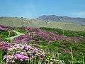 ミヤマキリシマと阿蘇山 (Mt.Aso with Kyushu Azarea) 24 May, 2013 - panoramio.jpg