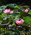 台北植物園荷花池 - panoramio (3).jpg