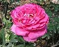 月季-粉和平 Rosa Pink Peace -深圳人民公園 Shenzhen Renmin Park, China- (42112366904).jpg