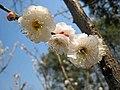 玉蝶梅 Armeniaca mume f albo-plena -南京梅花山 Nanjing, China- (33398279366).jpg