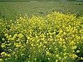 菜の花と畑 - panoramio.jpg