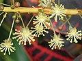 變葉木(灑金榕)-雄花 Codiaeum variegatum -香港青衣市鎮 Tsing Yi Town, Hong Kong- (9237478873).jpg