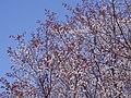 近つ飛鳥風土記の丘 第一展望台ちかくの山桜 Wild cherry blossoms 2013.3.30 - panoramio (1).jpg