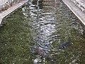 鹿島八幡宮の鯉 - panoramio.jpg