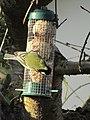 -2018-12-12 Feeding Blue Tit (Cyanistes caeruleus), Trimingham.JPG