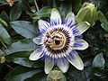-2019-08-21 Passionflower (Passiflora incarnata), Trimingham (1).JPG