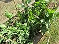 -2020-06-04 Garden pea plants (Pisum sativum), Trimingham.JPG