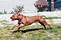 005 American Pit Bull Terrier.jpg