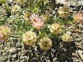 015.Lomelosia Stellata (14544073485).jpg