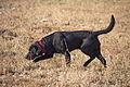 0312 Black Labrador IMG 3409.jpg