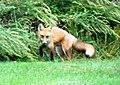 034 Red Fox (8057817951).jpg