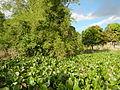 04506jfDomesticated Water Hyacinth Pescadores Poblacion Candaba Pampangafvf 15.JPG