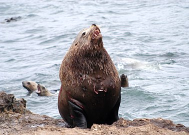 071203 steller sea lion bull rogue reef odfw (14953349938).jpg