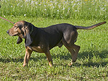 A black and tan, heavily wrinkled hound dog on a leash. The dog has long, pendulous ears and an undocked tail.