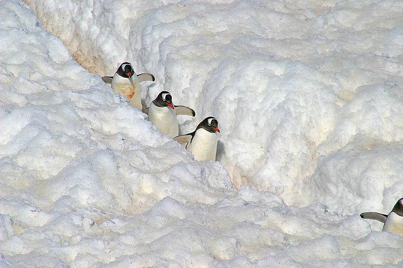 File:091 Pinguine - Antarktis.jpg