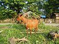09409jfCattle goats grasslands Roads San Miguel, Bulacanfvf 02.jpg