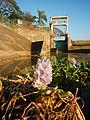 09645jfAngat River Dam Bay Eichhornia crassipes San Rafael Bustos Angat Bulacan villagesfvf 01.JPG