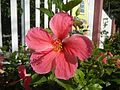 0985jfHibiscus rosa sinensis Linn White Pinkfvf 24.jpg