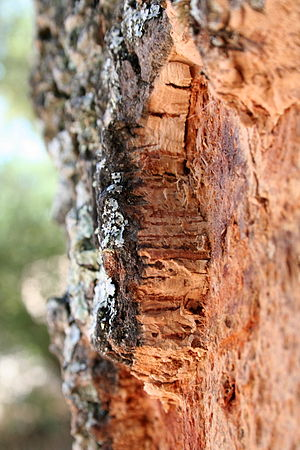 Cork (material) - Quercus suber (Cork Oak) bark, Portugal