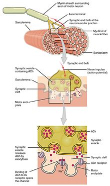 Muscle contraction - Wikipedia