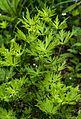 1024 Rispen-Eisenhut (Aconitum degenii)-2194.jpg