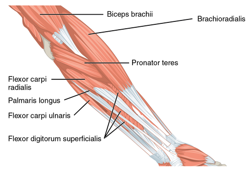 1120 Muscles that Move the Forearm Antebrach. Sup. Flex. Sin