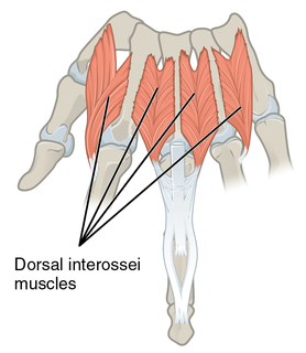 Dorsal interossei of the hand muscle of the upper limb