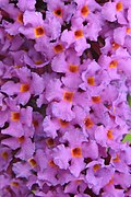 126 Buddleja 'Border Beauty' flowers.jpg