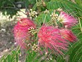 1 flores rosadas texas pink flower tree (10).jpg