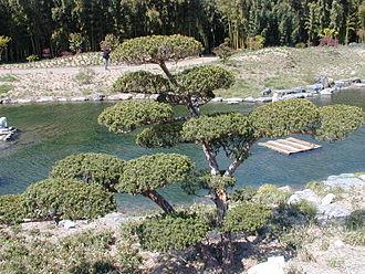 Cloud tree - Image: 20040413 Taxus Cuspidata