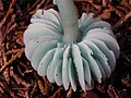 2009-02-11 Gliophorus psittacinus (Schaeff.) Herink 35995.jpg