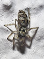 2010-05-23 Araña Bastavales.jpg