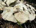2011-03-08 Oligoporus obductus (Berk.) Gilb. & Ryvarden 136781.jpg