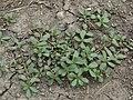 20150723Portulaca oleracea.jpg
