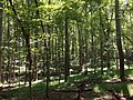 2017-08-19 12 07 45 Forest along the Yellow Trail between the Green Trail and the Orange Trail within Hemlock Overlook Regional Park, in southwestern Fairfax County, Virginia.jpg
