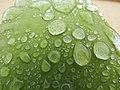 2018-02-09 Water doplets on a leaf, Albufeira.JPG
