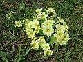2018-04-09 (111) Primula vulgaris (primrose) at Bichlhäusl at Haltgraben in Frankenfels.jpg