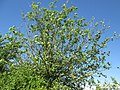 20180430Ulmus minor2.jpg