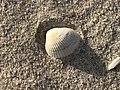 2020-10-18 17 12 01 Sea shell on the beach near East 9th Street in Barnegat Light, Ocean County, New Jersey.jpg