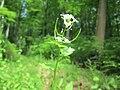 20200508Alliaria petiolata2.jpg